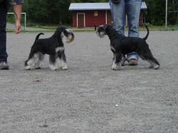Vasemmalla Faustkämpfen Brockhouse Boy - oikealla Faustkämpfen Etna.